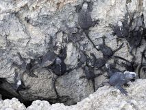 Marine Iguana, Amblyrhynchus cristatus albemarlensis, with some places found in large numbers, Isabela Island, Galapagos, Ecuador. The Marine Iguana Stock Photo