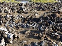 Marine Iguana, Amblyrhynchus cristatus albemarlensis, with some places found in large numbers, Isabela Island, Galapagos, Ecuador. The Marine Iguana Stock Images