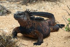 Sunny Marine Iguana. The marine iguana Amblyrhynchus cristatus, also known as the sea iguana, saltwater iguana, or Galápagos marine iguana, is a species of royalty free stock image