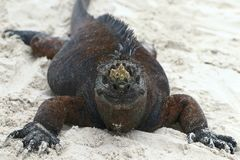 Marine Iguana funny. The marine iguana Amblyrhynchus cristatus, also known as the sea iguana, saltwater iguana, or Galápagos marine iguana, is a species of royalty free stock images