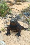 Sunny Marine Iguana. The marine iguana Amblyrhynchus cristatus, also known as the sea iguana, saltwater iguana, or Galápagos marine iguana, is a species of royalty free stock photos