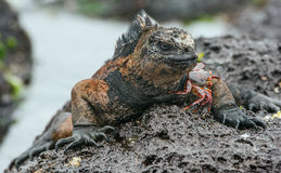 The Marine Iguana (Amblyrhynchus cristatus) with crab on the stony lava coast. Stock Image