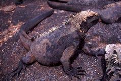 Marine Iguana Amblyrhynchus cristatus cristatus royalty free stock images