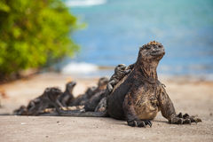 Marine iguana. Amblyrhynchus cristatus is an iguana found only on the Galápagos Islands that has the ability, unique among modern lizards stock image
