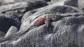 The Marine Iguana, Amblyrhynchus cristatus, from the Galapagos Islands stock video footage