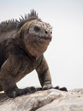 Marine iguana (Amblyrhynchus cristatus), Galapagos Islands Stock Photo