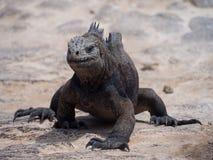 Marine iguana (Amblyrhynchus cristatus) on Plaza Sur Island, Galapagos Royalty Free Stock Image