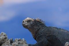 Marine Iguana. (Amblyrhynchus cristatus) sitting on lava rock Royalty Free Stock Photos