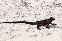 Marine iguana Amblyrhynchus cristatus on beach. Marine iguana Amblyrhynchus cristatus sitting walking on a sandy beach royalty free stock images