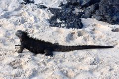 Marine iguana Amblyrhynchus cristatus on beach. Marine iguana Amblyrhynchus cristatus sitting walking on a sandy beach royalty free stock image