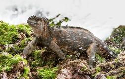 The Marine Iguana (Amblyrhynchus cristatus) on the stony lava coast. royalty free stock image