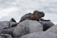 Marine Iguana basking on a rock in the Galapagos. Marine Iguana Amblyrhynchus cristatus basking on a rock - Espanola Island, Galapagos stock photo