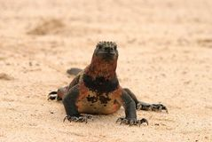 Marine Iguana on beach Stock Photography
