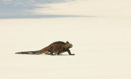 Marine iguana in the beach Stock Images