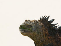 Marine iguana in the beach Stock Photos