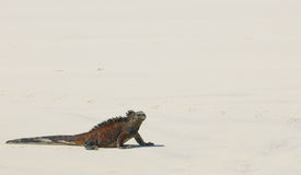 Marine iguana in the beach. Galapagos islands, ecuador Stock Photos