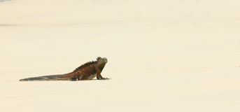 Marine iguana in the beach. Galapagos islands, ecuador Royalty Free Stock Photo