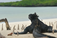 Marine iguana on the beach. Tortuga Bay, Galapagos, Ecuador: A large marine iguana relaxes on the beach, gazing out over the clam bay waters in the Galapagos Stock Photos