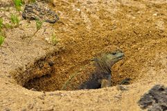 Marine-iguana on the beach. A marine iguana emerging from the nest in the sand royalty free stock photo