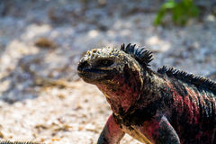 Marine Iguana. A marine iguana on the beach in the Galapagos Islands royalty free stock image