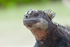 Marine Iguana on the beach natural background Royalty Free Stock Images