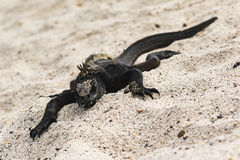 A Marine Iguana on the beach. At San Cristobal, Galapagos Stock Photos