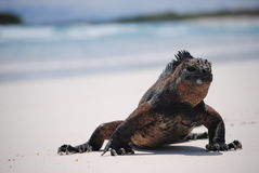Marine iguana on beach. Marine iguana walking on a beach in the Galapagos Islands stock images