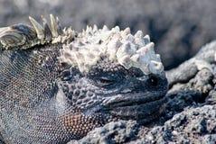 Black marine iguana Stock Images