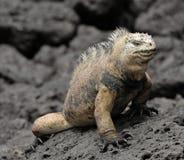 The marine iguana on the black stiffened lava. The male of marine iguana (Amblyrhynchus cristatus) Royalty Free Stock Photography