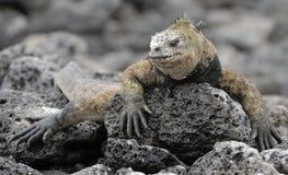 The marine iguana on the black stiffened lava. The male of marine iguana (Amblyrhynchus cristatus) Stock Photography