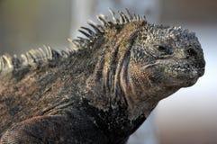 The marine iguana on the black stiffened lava. The male of marine iguana (Amblyrhynchus cristatus) Royalty Free Stock Images