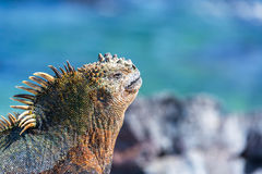 Marine Iguana and Blue Background in Galapagos Royalty Free Stock Image