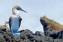 Marine iguana with blue footed boobies, booby, Sula nebouxii and Amblyrhynchus cristatus, on Isabela Island, Galapagos. Ecuador, South America Royalty Free Stock Photography