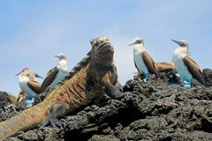 Marine iguana with blue footed boobies, booby, Sula nebouxii and Amblyrhynchus cristatus, on Isabela Island, Galapagos. Ecuador, South America stock photography