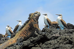 Marine iguana with blue footed booby on Galapagos. Marine iguana looking at the blue footed booby, boobies on Isabela Island in Galapagos, Ecuador. Galapagos royalty free stock photo