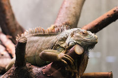 Marine iguana in the cage. Marine iguana like a dragon in the cage Royalty Free Stock Image