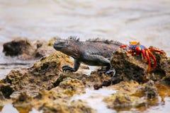Marine Iguana on Chinese Hat island, Galapagos National Park, Ec Stock Photography