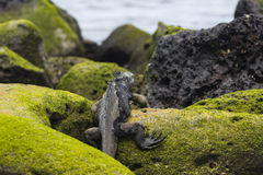 A Marine Iguana climbing rocks Royalty Free Stock Image
