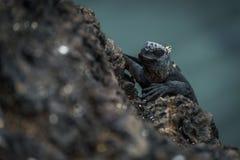 Marine iguana climbing up black volcanic cliff Royalty Free Stock Images
