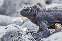 Marine Iguana Close Up 1 Royaltyfria Foton