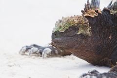 Marine Iguana Close up portrait on the beach Stock Images