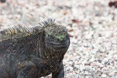 Marine iguana in closeup. Royalty Free Stock Photography