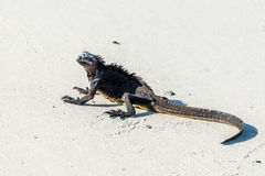 Marine iguana crouched on white sandy beach Stock Image