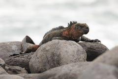 Marine Iguana die op een rots in de Galapagos zonnebaden royalty-vrije stock afbeeldingen