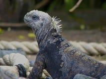 Marine Iguana, die von der Seite schaut stockfotografie