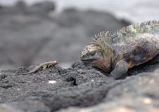 Marine Iguana e Lava Lizard, Galápagos Fotos de Stock