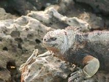 Marine Iguana e um lagarto da lava fotos de stock