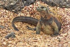 Marine Iguana emerging from nest. A marine Iguana on the Galapagos Islands emerging from the nest royalty free stock photo