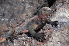 Marine iguana on Espanola Island, Galapagos National park, Ecuador stock photos