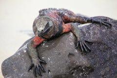 Marine iguana on Espanola Island, Galapagos National park, Ecuador stock photography